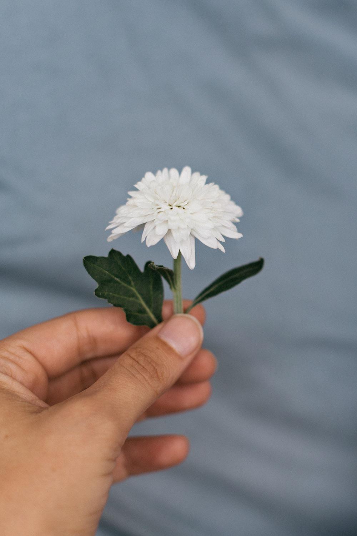 biela chryzantema
